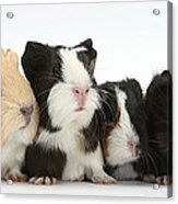 Six Young Guinea Pigs In A Row Acrylic Print
