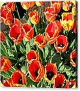 Skagit Valley Tulips 10 Acrylic Print