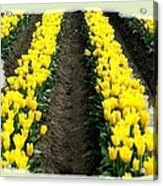 Skagit Valley Tulips 2 Acrylic Print