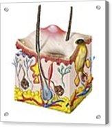 Skin Anatomy Acrylic Print