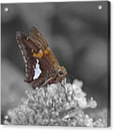 Skipper And Clover Acrylic Print
