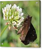 Skipper On Clover Square Acrylic Print