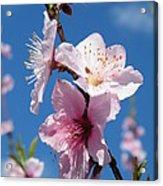Sky High Cherry Blossoms Acrylic Print