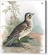 Skylark, Historical Artwork Acrylic Print