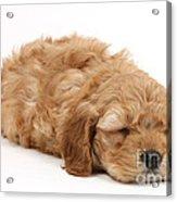 Sleeping Cockerpoo Puppy Acrylic Print