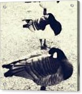 Sleeping Ducks Acrylic Print