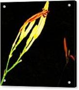 Sleeping Iris Acrylic Print