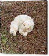 Sleeping Ivory The Cat Acrylic Print