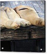 Sleeping Lions Acrylic Print