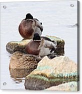 Sleeping Mallards Acrylic Print