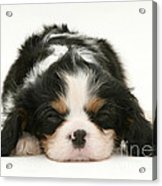 Sleeping Puppy Acrylic Print by Jane Burton