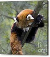 sleeping Small Panda Acrylic Print