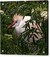 Sleepy Egret In Elderberry Acrylic Print