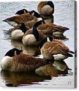 Sleepy Geese Acrylic Print