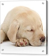 Sleepy Labrador Pup Acrylic Print