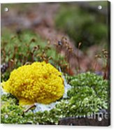 Slime Mould Acrylic Print