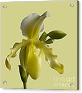 Slipper Orchid Acrylic Print