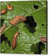 Slugs And A Snail Are Feeding On Leaves Acrylic Print