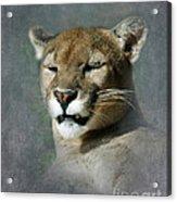 Slumbering Mountain Lion Acrylic Print
