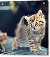 Small Cute Kitten Acrylic Print