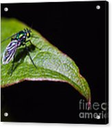 Small Green Fly 2 Acrylic Print