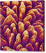 Small Intestine Villi, Sem Acrylic Print