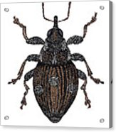 Small Nettle Weevil Acrylic Print