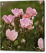 Small Pink Roses In Garden Acrylic Print by M K  Miller