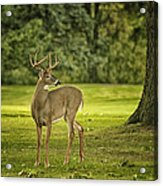 Small Stag Acrylic Print