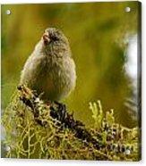 Small Tree Finch Acrylic Print