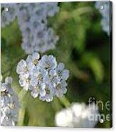 Small White Wildflowers  Acrylic Print