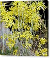 Small Yellow Onion (allium Flavum) Acrylic Print