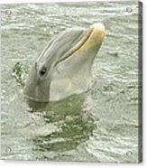 Smiling Dolphin Acrylic Print