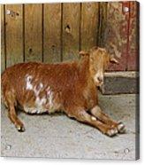 Smiling Goat Acrylic Print