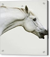 Smiling Grey Pony Acrylic Print by Ethiriel  Photography