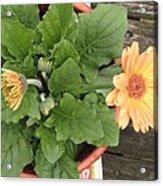 Smiling Orange Zerbera Flower Acrylic Print