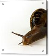 Snail Isolated On White Background Acrylic Print