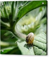 Snail On The Leaf Acrylic Print