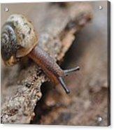 Snail's Tale Acrylic Print