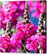 Snapdragon Sunshine Acrylic Print