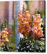 Snapdragons Acrylic Print