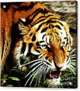 Snarling Tiger Acrylic Print