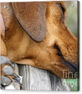 Sniffing Out Dreams Acrylic Print