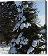 Snow Crusted Evergreen Acrylic Print