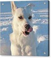 Snow Dog 0249 Acrylic Print