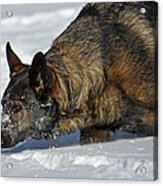 Snow Dog Acrylic Print by Karol Livote