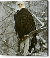 Snow Eagle Acrylic Print