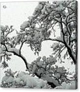 Snow Falling On Branches Acrylic Print