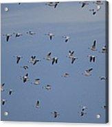 Snow Geese In Flight Acrylic Print