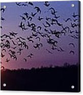 Snow Geese Migrating Acrylic Print